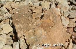 Barahona: Fragmento de caliza con resto de fauna del Lías (http://www.barahona.org/)